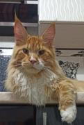 Maine Coon kittens for sale, with pedigree